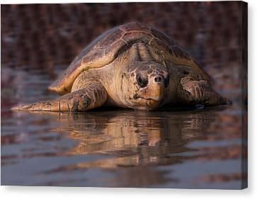 Beaufort The Turtle Canvas Print by Susan Cliett
