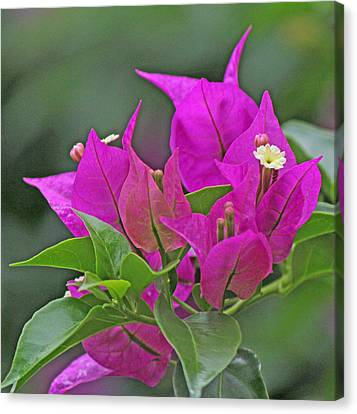Beautiful Bougainvillea Canvas Print by Becky Lodes