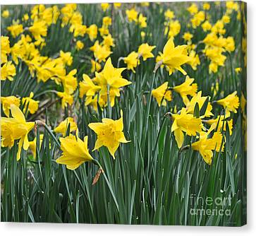 Beautiful Daffodil Field Floral Print Canvas Print