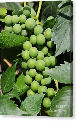Beautiful Grapes Canvas Print by Carol Groenen