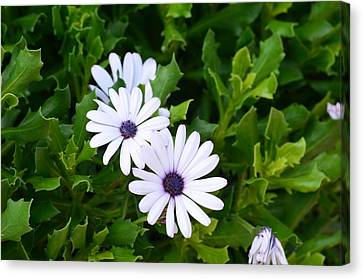 Beautiful Osteospermum Asti White Daisy Canvas Print