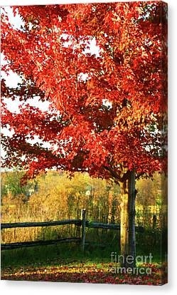 Beautiful Red Maple Tree  Canvas Print by Sandra Cunningham