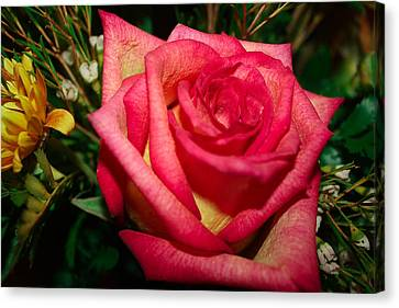 Beautiful Rose Canvas Print by David Alexander