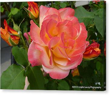 Canvas Print featuring the photograph Beautiful Rose With Buds by Lingfai Leung
