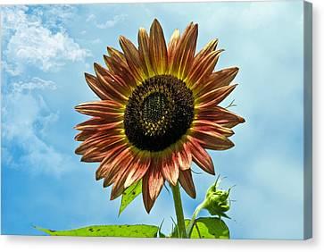Canvas Print featuring the photograph Beautiful Sunflower by Susan Leggett