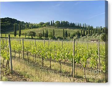 Beautiful Vineyard Canvas Print by Rob Tilley