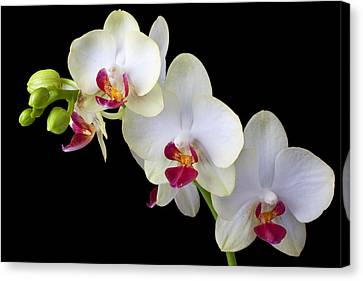 Beautiful White Orchids Canvas Print by Garry Gay