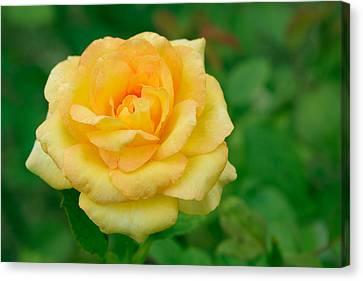 Beautiful Yellow Rose Canvas Print by Atiketta Sangasaeng