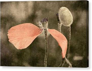 Beauty Fades Canvas Print by Bill Pevlor