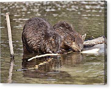 Beaver At Work Canvas Print