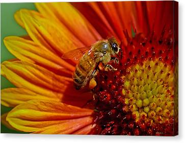 Bee 12 Canvas Print by Mitch Shindelbower