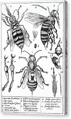 Bee Anatomy Historical Illustration Canvas Print by SPL and Photo Researchers