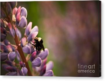 Bee And Lupine Canvas Print by Venetta Archer