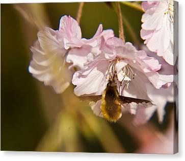 Bee Fly Feeding 1 Canvas Print by Douglas Barnett