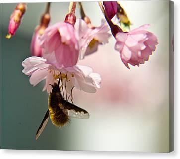 Bee Fly Feeding 2 Canvas Print