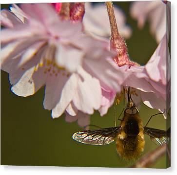 Bee Fly Feeding 8 Canvas Print