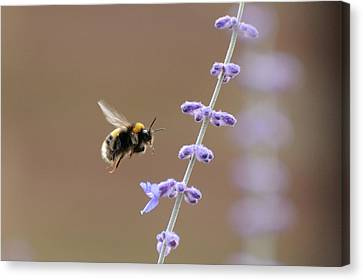 Bee Flying Towards Flowers Canvas Print by Darren Moston