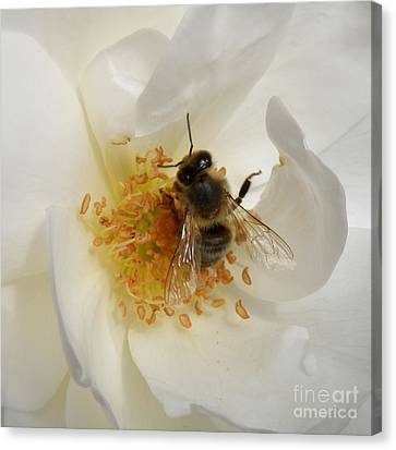 Canvas Print featuring the photograph Bee In A White Rose by Lainie Wrightson