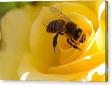 Bee Looking Down The Center Of A Yellow Rose Canvas Print by Dina Calvarese