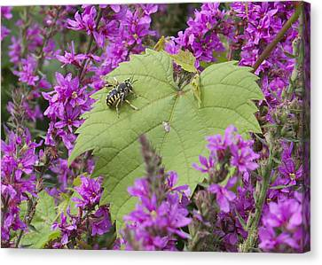 Bee On A Leaf Canvas Print by Michel DesRoches