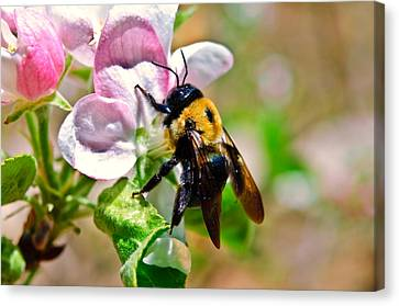 Canvas Print featuring the photograph Bee On An Apple Blossom by Susan Leggett