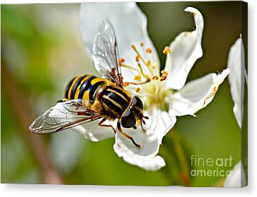 Bee On Apple Blossom Canvas Print by Lila Fisher-Wenzel