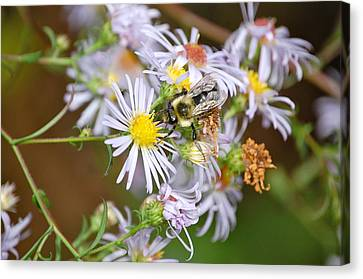 Canvas Print featuring the photograph Bee On Aster by Mary McAvoy