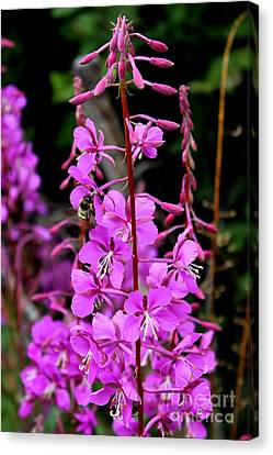 Canvas Print featuring the photograph Bee On Fireweed In Alaska by Kathy  White