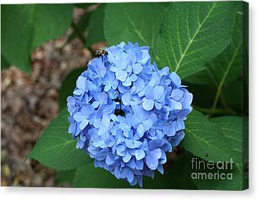 Bee On Hydrangea Canvas Print by Michael Waters
