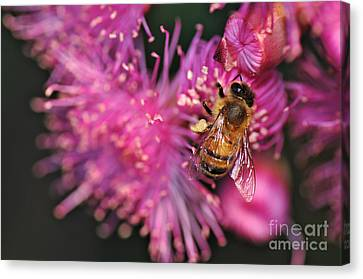Bee On Lollypop Blossom Canvas Print by Kaye Menner