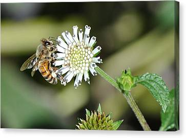 Canvas Print featuring the photograph Bee On White Clover by Jodi Terracina