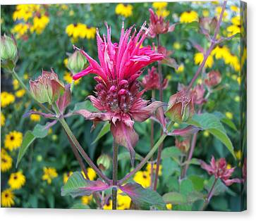 Beebalm Flower Canvas Print