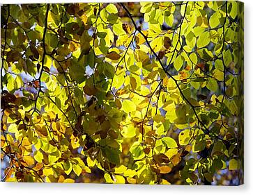 Beech Tree Foliage Canvas Print by Dr Keith Wheeler