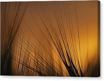 Before Harvest Canvas Print by Julianna Horvath