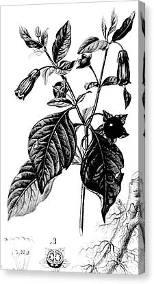 Belladonna, Alchemy Plant Canvas Print by Science Source