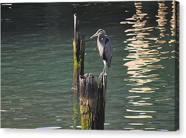 Canvas Print featuring the photograph Bellingham Heron by Ronda Broatch