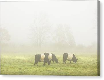 Belted Galloway Cows Grazing On Foggy Farm Field Maine Canvas Print