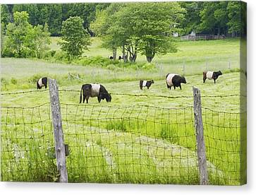 Belted Galloway Cows On  Farm Rockport Maine Photo Canvas Print by Keith Webber Jr