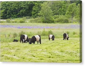 Belted Galloway Cows Pasture Rockport Maine Photograph Canvas Print by Keith Webber Jr
