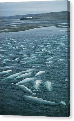 Beluga Whales Moulting Canvas Print by Doug Allan