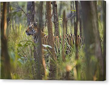 Bengal Tiger  17-month Old Canvas Print by Richard Packwood