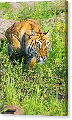 Igers Canvas Print - Bengal Tigress On The Prowl by John Pitcher