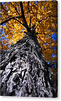 Maple Season Canvas Print - Big Autumn Tree In Fall Park by Elena Elisseeva