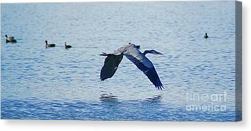 Canvas Print featuring the photograph Big Blue Heron Flying Away From Me by John  Kolenberg