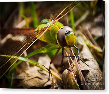 Canvas Print featuring the photograph Big Brown Eyes by Cheryl Baxter