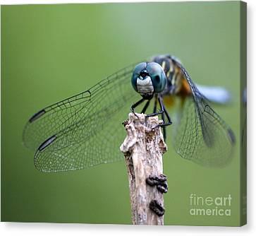 Big Eyes Blue Dragonfly Canvas Print by Sabrina L Ryan
