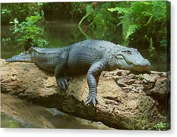Big Gator On A Log Canvas Print by Myrna Bradshaw
