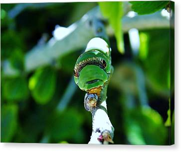 Big Green Caterpillar Canvas Print by Werner Lehmann