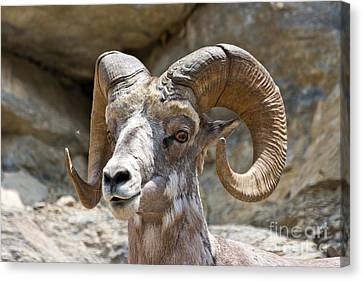 Big Horn Sheep Canvas Print by Scotts Scapes