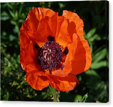 Big Red Poppy Canvas Print by Lynn Bolt